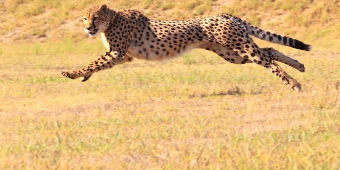 Running Cheetah | African Safaris | Africa