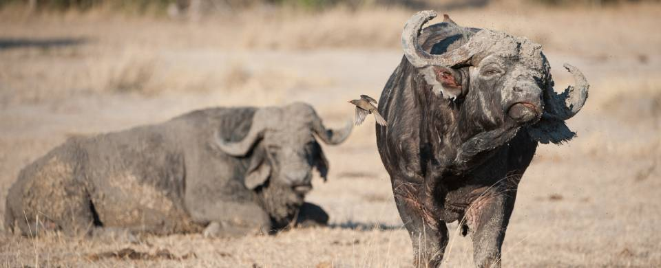 Two muddy cape buffalo in the dry savannah of Sabi Sand Game Reserve