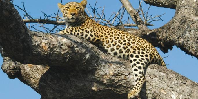 Leopard | African Safaris | Africa