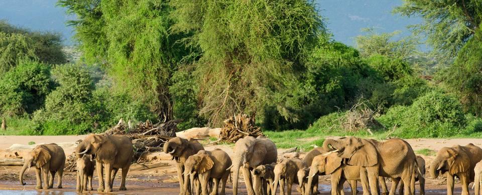 Elephants at a water hole with lush green vegetation behind them at Samburu National Park