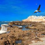 Seagulls flying over Essaouira | Morocco