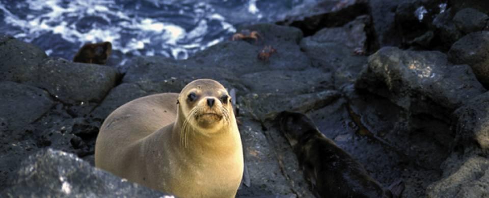 Seal Peru