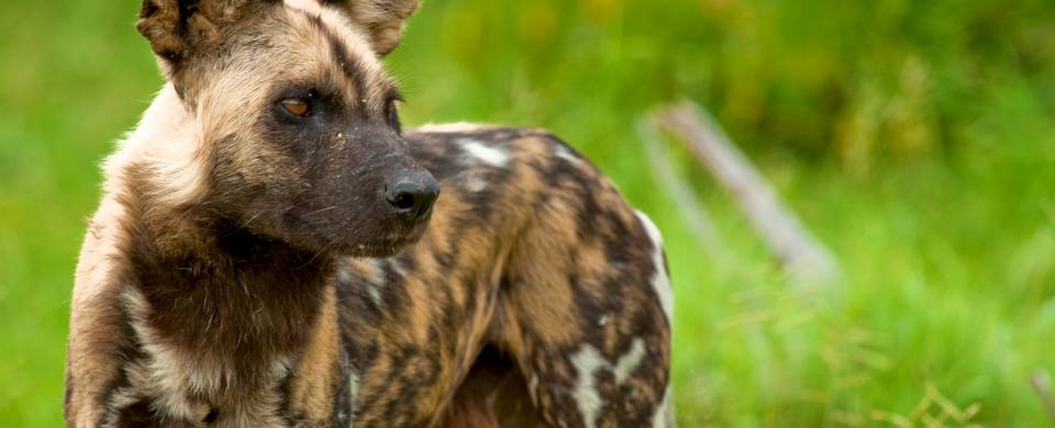 Close up of the rare and endangered wild dog at Selous Game Reserve