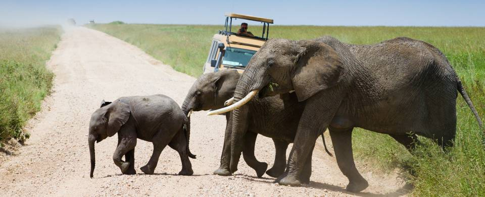 Family of elephants walking across the road in front of a jeep in the Serengeti National Park