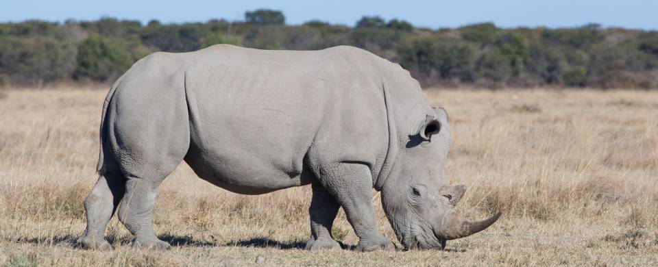 One of the protected rhinos of the Khama Rhino Sanctuary in Serowe