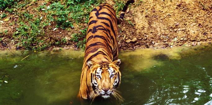 Tiger tracking | India