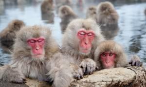 Snow Monkeys - Japan Tours - On The Go Tours
