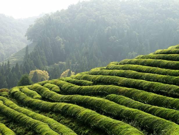 Tea plantations covering the hills of Boseong at sunset