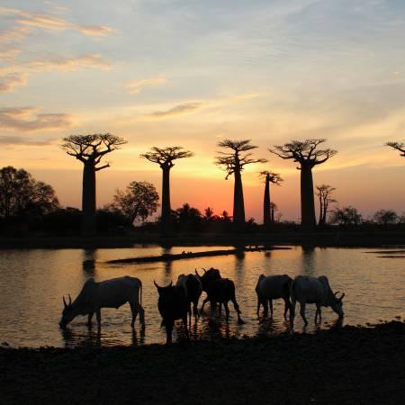 Sunset at Avenue Des Baobabs in Madagascar