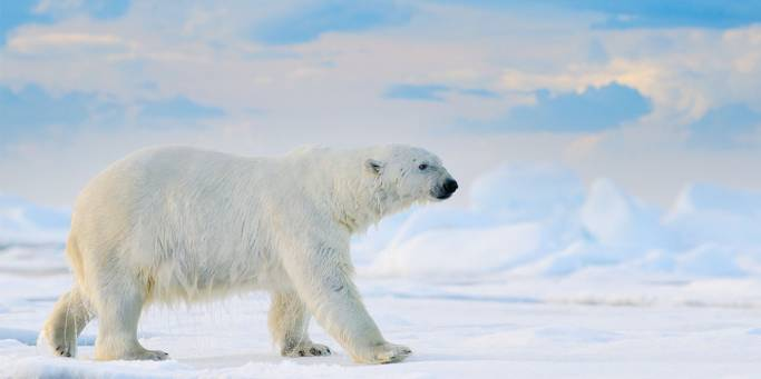 Polar bear on the pack ice | Svalbard | Norway