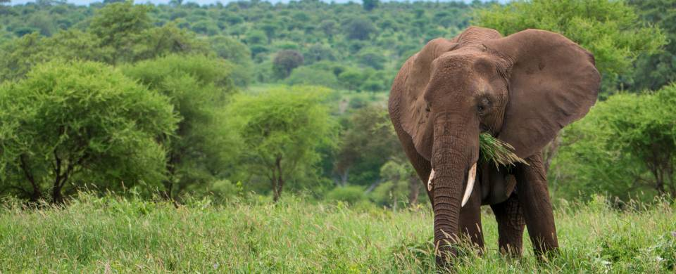 Elephant standing in lush green landscape in Tarangire National Park