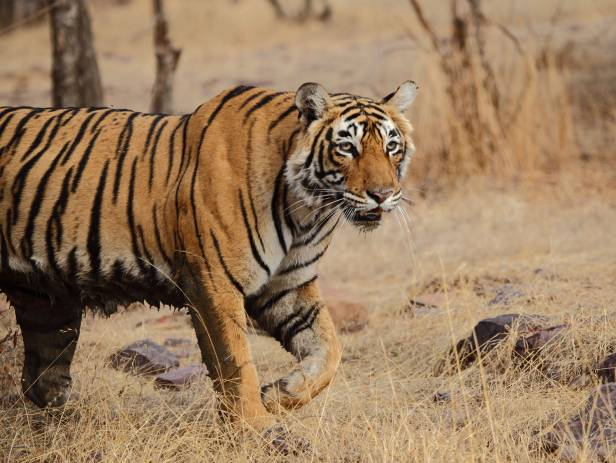 Ranthambore tiger in tree - New Web Image - On the Go Tours