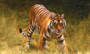Tiger-Safari-Panna-National-Park-Bolt-Ons-India