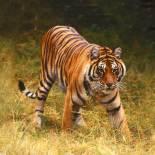 Tiger tracking | Panna National Park | India