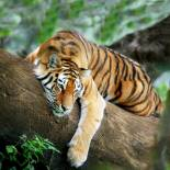 Spot tiger in India on our India wildlife tours