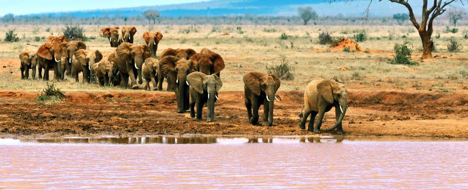 Elephants drinking at a pink water hole in the Tsavo National Park