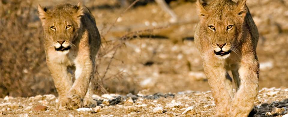 Lions striding towards the camera in the Tuli Block