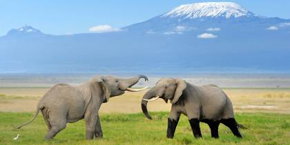 Two elephants with Mount Kilimanjaro in the backgrund in Tanzania
