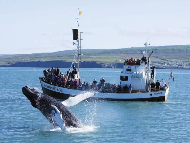 Humback whale breaching in the bay in Husavik