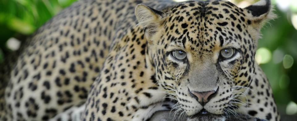Leopard staring in to the camera in Yala National Park