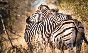 Zebras- Africa Overland Safaris - Africa Lodge Safaris - Africa Tours - On The Go Tours