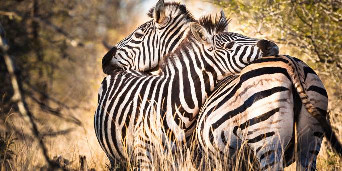 Zebras | African Safaris | Africa