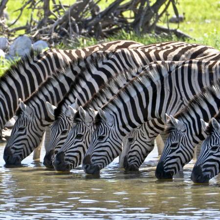 Zebras Drinking - Africa Overland Safaris - Africa Lodge Safaris - Africa Tours - On The Go Tours