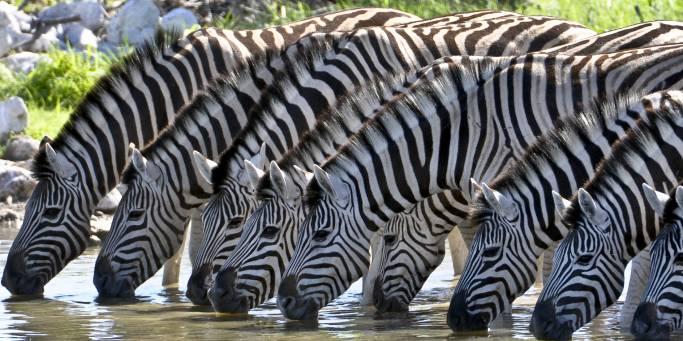 Zebras drinking | African Safaris | Africa