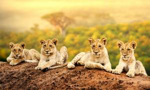 Zimbabwe to Zanzibar main image - lion cubs