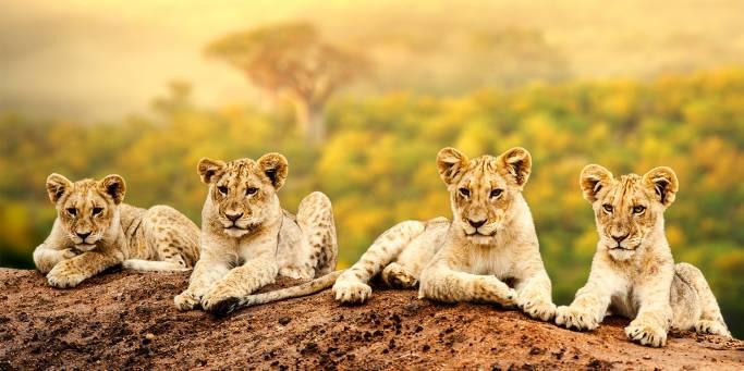 Lion Cubs | Africa