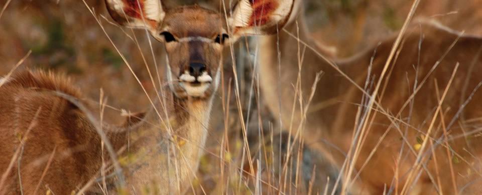 Deer looking straight at the camera at iSimangaliso Wetland Park
